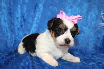 Yahtzee Female CKC Yorkipoo $2000 Ready 2/2 HAS DEPOSIT MY NEW HOME JACKSONVILLE, FL 1lb 10.1oz 4W1D old