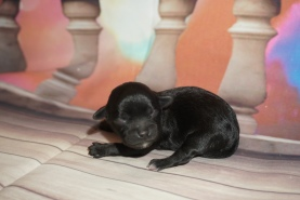 Bud (Karma Destiny) Female CKC Maltipoo $2000 Ready 3/4 HAS DEPOSIT MY NEW HOME PALM BAY, FL 4.4oz 1 Day Old