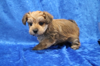 Butterball Male CKC Morkipoo $2000 Ready 1/21 HAS DEPOSIT MY NEW HOME BLUFFTON, SC 2lb 9oz 5W5D old