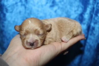 Charlotte Female CKC Shihpoo $2000 Ready 2/22 HAS DEPOSIT MY NEW HOME JACKSONVILLE, FL 7.9oz 9D old