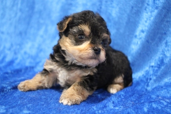 Domino (Doug E.) Male CKC Yorkipoo $2000 Ready 2/2 HAS DEPOSIT MY NEW HOME FAIRHOPE, AL 1lb 5oz 4W1D old