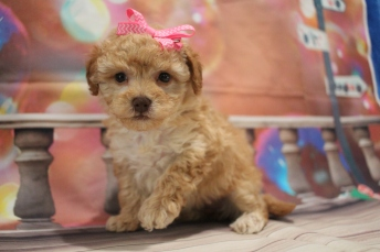 Godiva Female CKC Morkipoo $2000 Ready 1/26 HAS DEPOSIT MY NEW HOME SARASOTA, FL 1lb 14oz 5W1D Old