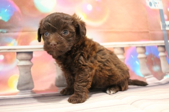 Hershey Male CKC Morkipoo $2000 Ready 1/26 HAS DEPOSIT MY NEW HOME PLANTATION, FL 2lb 2.5oz 5W1D Old