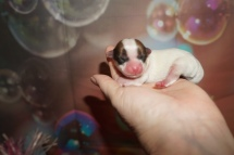 Hope Female CKC Morkie $2000 Ready 1/13 HAS DEPOSIT MY NEW HOME JACKSONVILLE, FL 4.8oz 1 Day Old