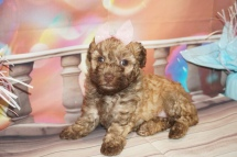 Jolene Female CKC Maltipoo $2000 Ready 2/2 HAS DEPOSIT MY NEW HOME ST JOHNS, FL 1 lb 14.5oz 4W5D Old