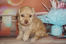 Josephine Female Maltipoo $2000 Ready 2/2 HAS DEPOSIT MY NEW HOME MIDDLEBURG, FL 2Lbs 3.5oz 4W5D Old
