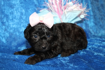 Love (Bailey) Female CKC Mini Aussiedoodle $2000 Ready 2/3 HAS DEPOSIT MY NEW HOME JACKSONVILLE, FL 1lb 11.5oz 4W old