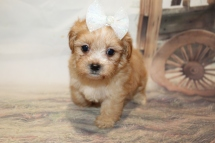 Milly (Sassy) Female CKC Havapoo $2000 Ready 1/26 SOLD MY NEW HOME JACKSONVILLE, FL 1lb 14oz 6W1D old