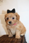 Molly (Zoddy) Female CKC Havapoo $2000 Ready 1/26 SOLD MY NEW HOME JACKSONVILLE, FL 1lb 9.4oz 6W1D old