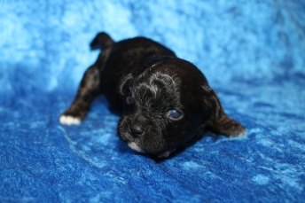 Sweetie Female CKC Shihpoo $2000 Ready 2/17 HAS DEPOSIT MY NEW HOME PONTE VEDRA BEACH, FL 14oz 2 Wks Old