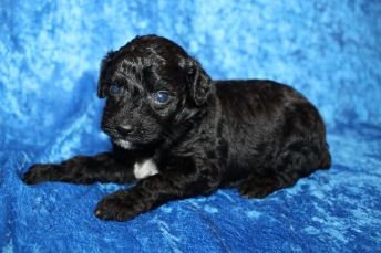 Valentine (Max) Male CKC Mini Aussiedoodle $2000 Ready 2/3 HAS DEPOSIT MY NEW HOME PALATKA, FL 1lb 9.5oz 4W old