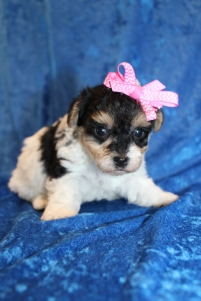 Jenga (Belle) CKC Yorkipoo $2000 Ready 2/2 HAS DEPOSIT MY NEW HOME FLEMING ISLAND, FL 1lb 6oz 4W1D old
