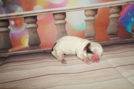 Ladybug Female CKC Shih Tzu $2000 Ready 2/26 SOLD MY NEW HOME JACKSONVILLE, FL 5.9 oz 1 Day Old