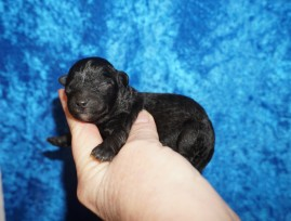 Asher (Levi) Male CKC Maltipoo $2000 Ready 3/4 HAS DEPOSIT MY NEW HOME ST AUGUSTINE, FL 5oz 1 Day Old