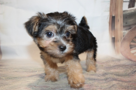 Ezra (Odie) Male CKC Shorkipoo $2000 Ready 1/22 SOLD MY NEW HOME JACKSONVILLE, FL 1lb 15.5oz 6W4D old