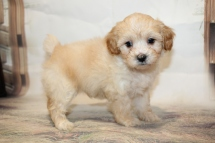 Marley Male CKC Havapoo $2000 Ready 1/26 SOLD MY NEW HOME NORTHFIELD, VT 2lb 6oz 6W1D old