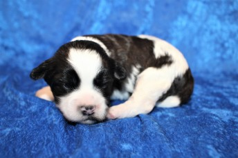 Snookums Male CKC Shihpoo $2000 Ready 2/17 HAS DEPOSIT MY NEW HOME JACKSONVILLE, FL 1lb 2.6oz 2 Wks Old