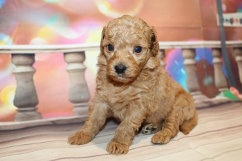 Valentino (Sailor) Male CKC Mini Aussiedoodle $2000 Ready 2/3 HAS DEPOSITMY NEW HOME WOODBINE, GA 1lb 8oz 4W old