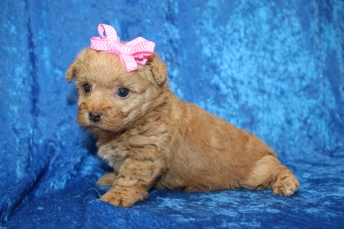 Zingo (Bella) Female CKC Yorkipoo $2000 Ready 2/2 HAS DEPOSIT MY NEW HOME JACKSONVILLE, FL 1lb 11oz 4W1D old