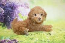 Dory CKC Maltipoo $2000 Ready 3/4 SOLD MY NEW HOME JACKSONVILLE, FL 1lb 13oz 7W2D old