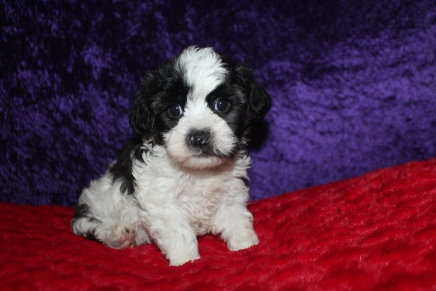 Snookums (Rocky) Male CKC Shihpoo $2000 Ready 2/17 SOLD MY NEW HOME JACKSONVILLE, FL 1lb 2lbs 7oz 6 WKS Old