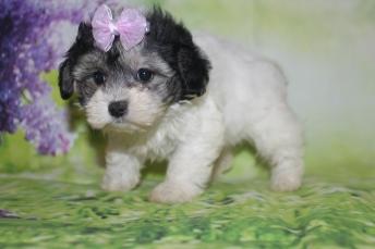Blossom Female CKC Maltipoo $2000 Ready 3/4 HAS DEPOSIT MY NEW HOME CRAWFORDVILLE, FL 1lb 9.5oz 7W2D old