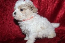 Nash Male CKC Shihpoo $2000 Ready 2/22 HAS DEPOSIT MY NEW HOME JACKSONVILLE, FL 2lbs 6W2D Old
