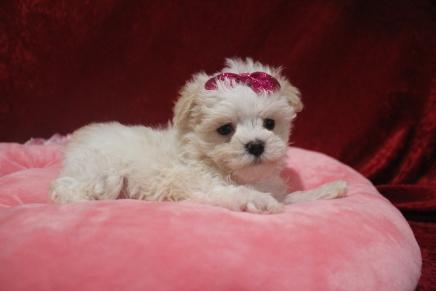 Aurora (Bella) Female CKC Shihpoo $2000 Ready 2/22 HAS DEPOSIT MY NEW HOME JACKSONVILLE, FL 1 LB 7OZ 6W2D Old