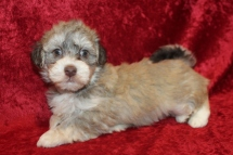 Rudy Male Havanese $2000 Ready 2/20 SOLD MY NEW HOME JACKSONVILLE, FL