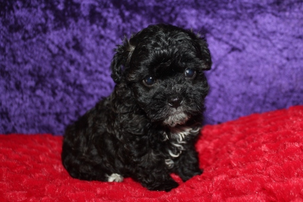 Pookie Male CKC Shihpoo $2000 Ready 2/17 SOLD MY NEW HOME FT MYERS, FL 2LBS 6 Weeks Old