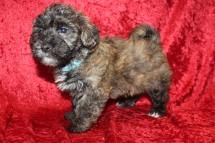 Roscoe Male Havanese $2000 Ready 2/20 SOLD MY NEW HOME JACKSONVILLE, FL 3 Lbs 6W4D Old